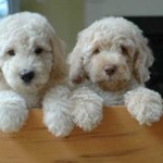 About Labradoodle Puppies