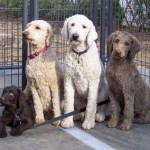 Labradoodle Rescue Tips